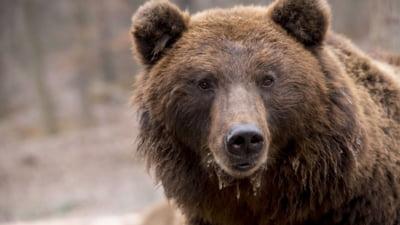S-a deschis dosar penal in rem in cazul ursului impuscat in Covasna de printul austriac. Cercetari pentru braconaj si uz de arma fara drept UPDATE