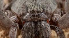 S-a descoperit o noua specie de paianjen: E cat o farfurie de mare