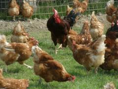 S-a interzis comertul cu pasari vii pentru o perioada de 30 de zile. Focar de gripa aviara la o ferma din Mures