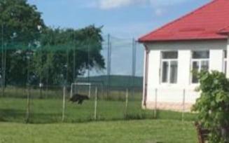 S-au trezit cu ursul in curtea scolii, cand elevii erau la ore