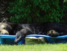 SUA: A fost atat de cald in Virginia, incat un urs urias a intrat in curtea unei case pentru a se racori intr-o copaie plina cu apa