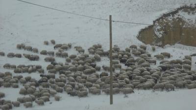 Salbatici si lanosi - Cum a prezentat presa externa protestul ciobanilor care au luat cu asalt Parlamentul