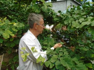Sanzienele au adus plante tamaduitoare in farmacia lui Ion Bobaru