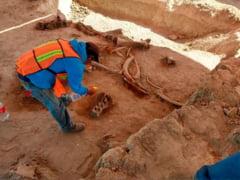 Sapaturile pentru constructia unui aeroport au scos la iveala fosilele a 60 de mamuti! Cum si de ce au murit atatea animale deodata