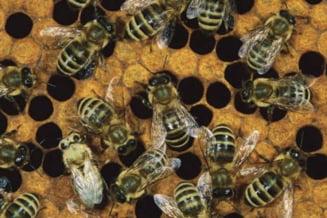 Sase persoane internate la Varna, dupa ce au fost atacate de roiuri de albine