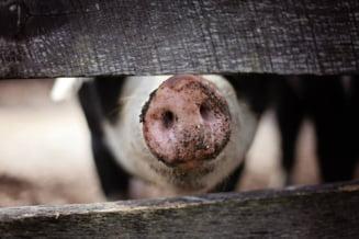 Satu Mare: Zeci de mii de porci care nu pot fi comercializati vii din cauza pestei porcine vor fi sacrificati intr-un abator privat