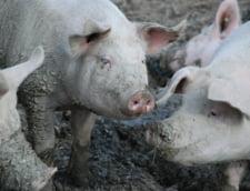 Scandal de proportii intr-o localitate lovita de pesta: De 3 zile satenii ii impiedica pe veterinari sa ucida porcii, desi animalele ar putea fi bolnave