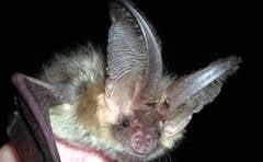 Semnal de alarma pentru salvarea liliecilor din Bihor
