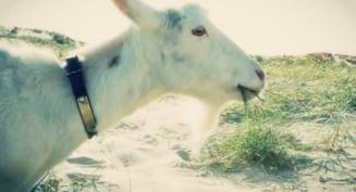 Si-a luat o capra sa-l scape de buruienile din curte, dar iata ce talent avea aceasta (Video, Foto)
