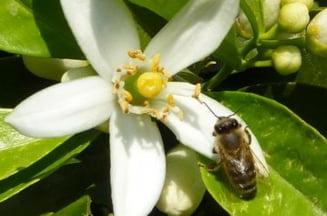 Si albinelor le place aroma cafelei! Iata dovada
