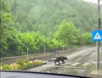 Si ursii au invatat pe unde se trece strada...