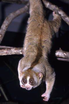Singura primata veninoasa din lume ne-ar putea ajuta sa intelegem de ce unii oameni sunt alergici la pisici
