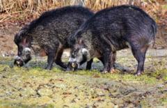 Situatie grava in Caras-Severin. Focarele de pesta porcina africana se extind rapid
