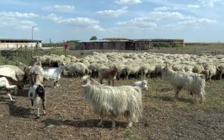 Solutia extrema a crescatorilor de animale, afectati de seceta. In ce conditii ar inverzi pasunile