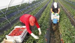 Spania cauta sezonieri pentru agricultura