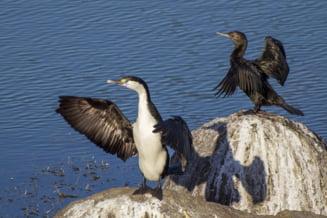 Specialist ornitolog: Nimeni in afara de Guvern nu vrea sa ucida cormoranii. Comunistii i-au impuscat, au inecat puii, a fost un adevarat masacru