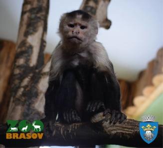 Specie de maimuta unica in Romania, la Zoo Brasov (Foto&Video)