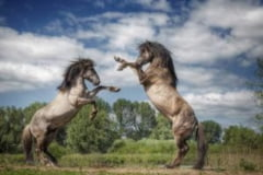 Spectaculoasa lupta a doi armasari rivali. Miza: o iapa (Galerie foto)