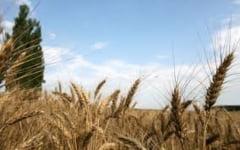 Starea culturilor este buna, dar exista riscul aparitiei daunatorilor