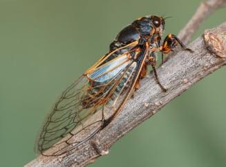 Statele Unite: Un roi imens de insecte este asteptat sa iasa la suprafata dupa 17 ani de la ultima aparitie