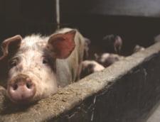 Statele Unite au suspendat importurile de porci din Polonia, din cauza pestei porcine