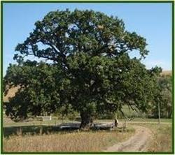 Stejarul si calitatile lui terapeutice