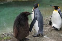 Stramosul pinguinilor traia pe continentul pierdut al Pamantului, disparut in urma cu 60 de milioane de ani