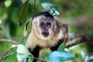 Suntem martorii unui moment istoric: Maimutele de pe o insula au intrat in Epoca Pietrei! (Video)