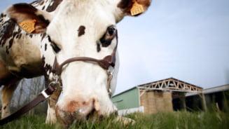 Super-vaca, creata in laborator - fabrica de lapte, fara coarne
