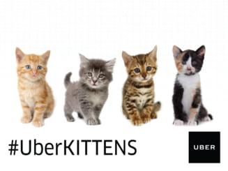 Surpriza de la Uber: Poti comanda o masina cu pisici