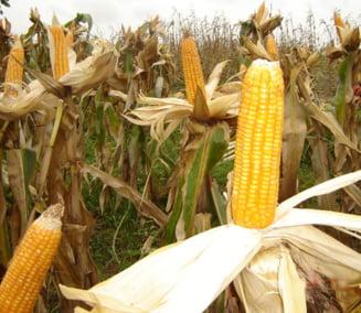 Suspiciune de aflatoxina la porumb