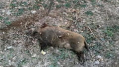 Suspiciune de pesta porcina africana, in Homorod