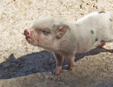 Suspiciune de pesta porcina in Bihor, unde epidemia a fost lichidata din septembrie