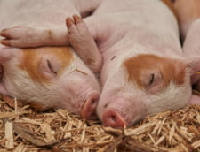 Sute de porci dintr-o ferma din Sibiu, eutanasiati dupa ce veterinarii au descoperit un focar de pesta porcina africana