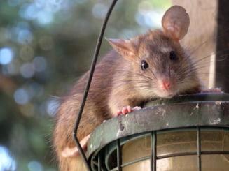 """Tânăr muşcat de şobolan în București: """"L-am văzut, era deja înfipt în picior"""""""