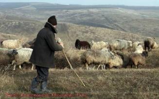 Talharie la stana: l-au legat pe cioban si l-au batut, apoi i-au furat zeci de mioare. Vinovatii, prinsi dupa o luna