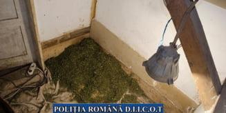Tanar arestat preventiv pentru ca a cultivat cannabis la domiciliul tatalui sau si l-a vandut in Romania si Ungaria