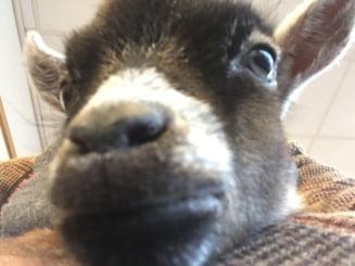 Tara lui Peste: Gigi cu oile si Toni cu caprele Pamflet