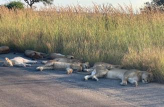 Tara unde leii dorm pe strada, in vreme de pandemie (Foto)