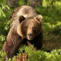 Tari din Europa refuza relocarea unor ursi din Romania. Ministrul Mediului anunta reluarea negocierilor