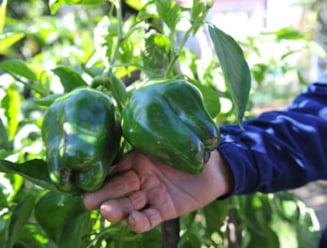 Tendinte ambientaliste - legumele de pe balcon