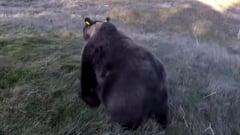 Tensiuni intre Franta si Spania, din cauza unei ursoaice