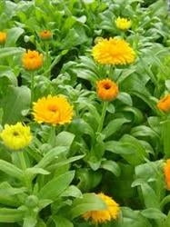 Terapii naturiste cu flori galbene