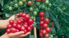 Termenul de depunere a documentatiei pentru Programul Tomate prin care agricultorii primesc fonduri nerambursabile, prelungit pana in 15 iunie