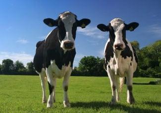 Termenul pentru cererile de subventie la bovine, prelungit cu o luna