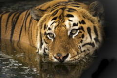 Thailanda si-a dublat numarul de tigri salbatici, specie aflata in pericol de disparitie