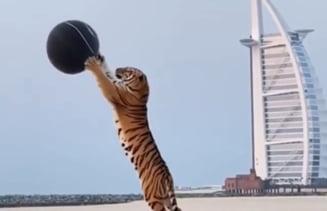 Tigru sălbatic, adus de un cuplu la o petrecere extravagantă, pe o plajă din Dubai VIDEO