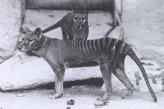 Tigrul tasmanian, vazut la 80 de ani de la disparitie
