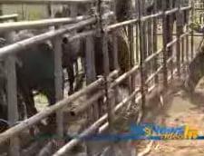Tirurile cu cai de la Letea, oprite in trafic de politia rutiera
