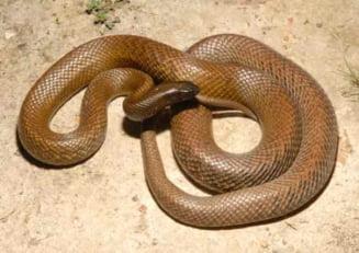 Top 10 cei mai veninosi serpi din lume (Galerie foto)